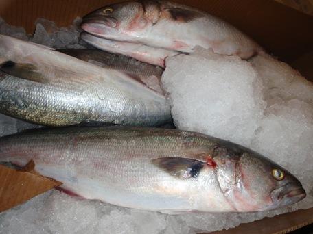 Bluefish Fillet